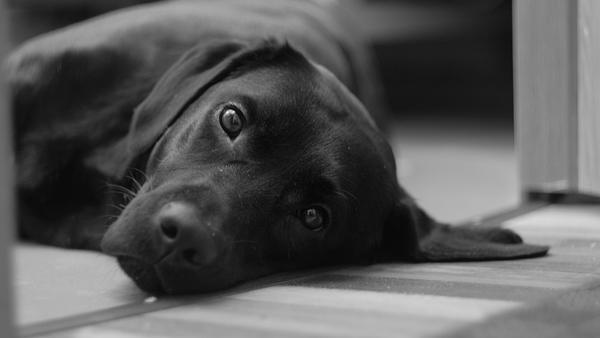 Labrador rasą dla dzieci