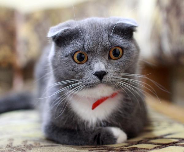 Rasowe koty na sprzedaż